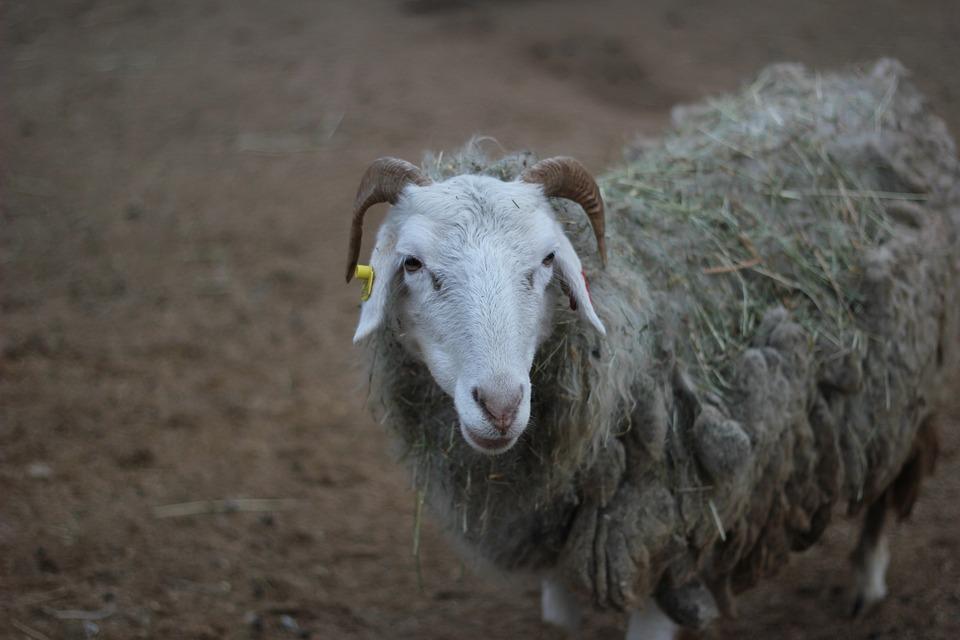 Prague, Zoo, Sheep