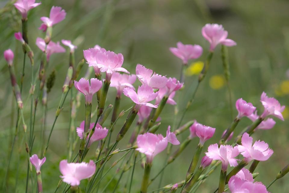 Flowers, Carnations, Prato, Spring, Nature