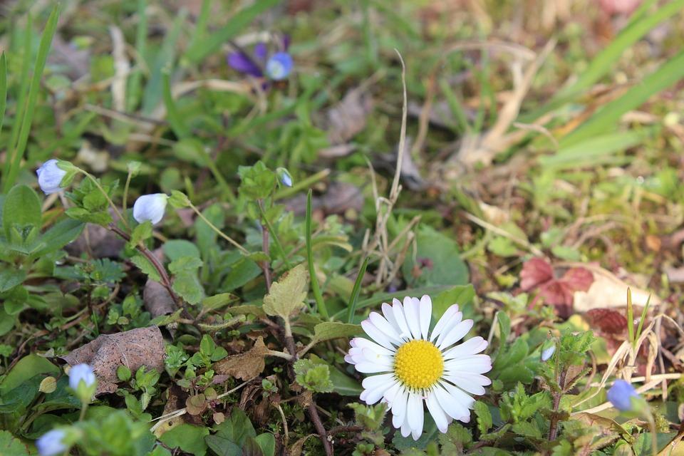 Margaret, Flower, Grass, Green, Prato, White, Flowers