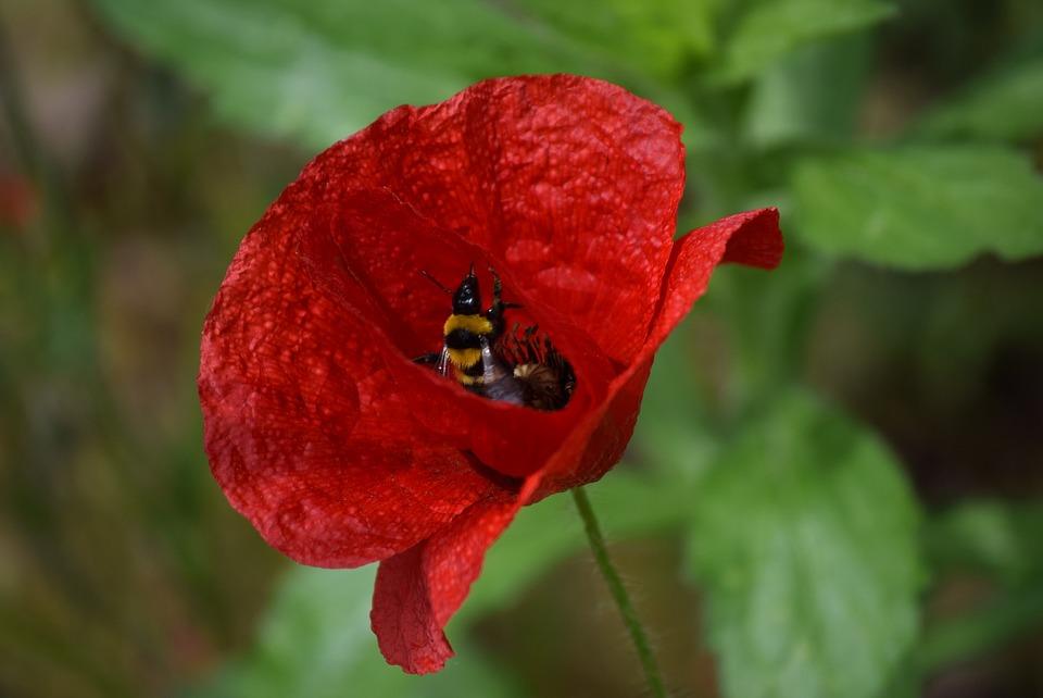 Poppy, Spring, Prato, Flowers, Flower, Green, Red