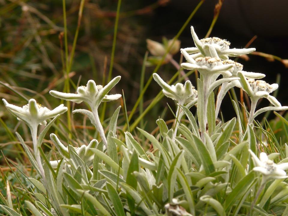 Edelweiss, Alpine Flower, Rarely, Protected, Precious