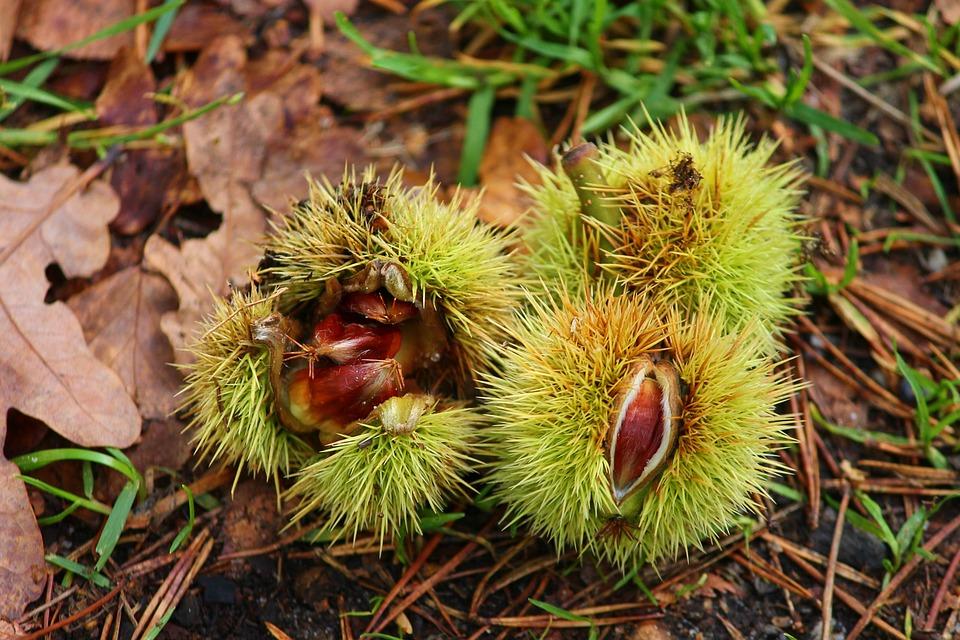 Sweet Chestnuts, Precious Kastatien, Concerns, Open