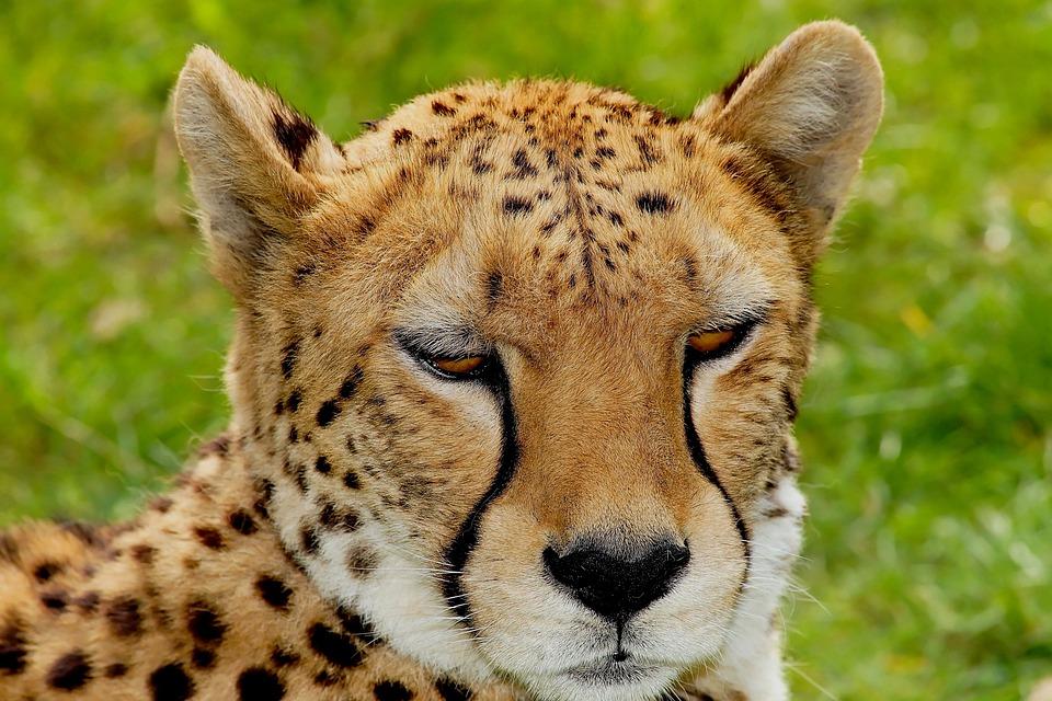 Cat, Cheetah, Africa, Nature, Big Cat, Predator, Animal