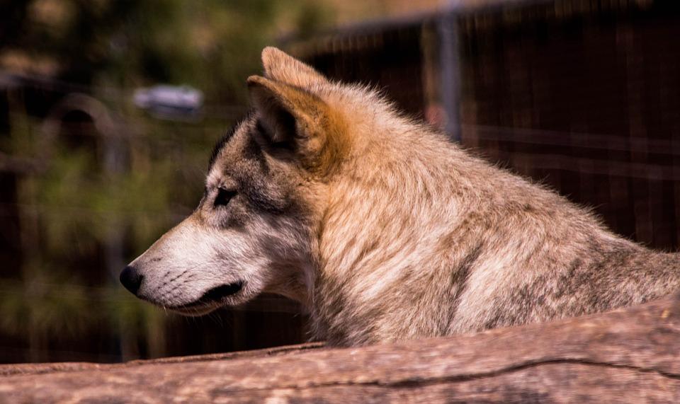 Wolf, Outdoors, Nature, Wildlife, Animal, Predator, Fur
