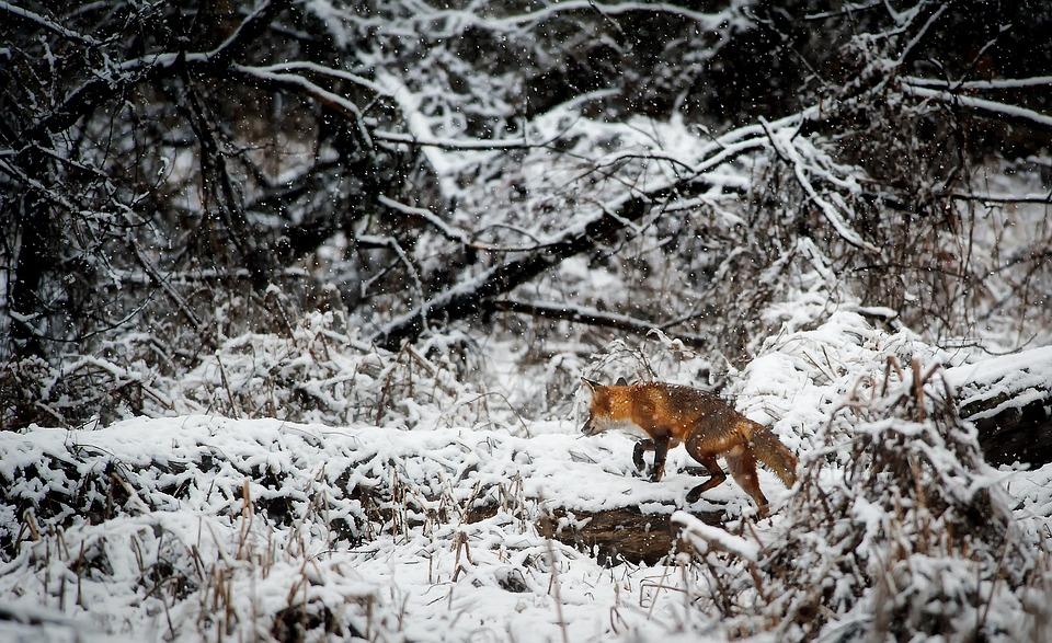 Landscape, Fox, Animal, Wildlife, Hunting, Predator