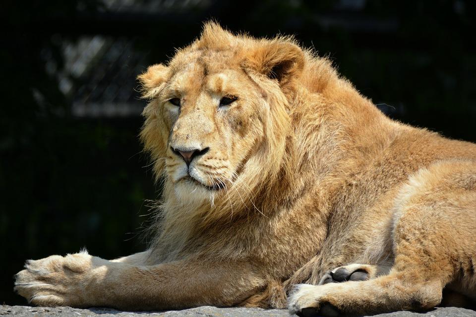 Lion, Animal, Mammal, Predator, Feline