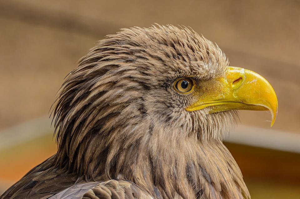 Eagle, Bird, Predator, Portrait, Animal, Beak, Head