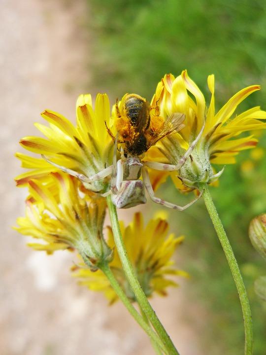 Spider, Predator Bee, Hunting, Bug Hunted