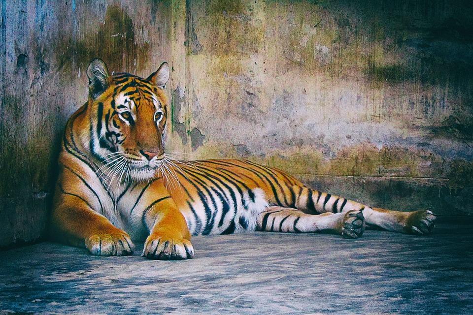 Bengal Tiger, Tiger, Predator, Bengal, Cat, Wildcat