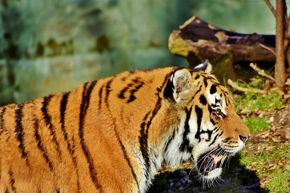 Tiger, Wildcat, Predator, Big Cat, Carnivores, Majestic