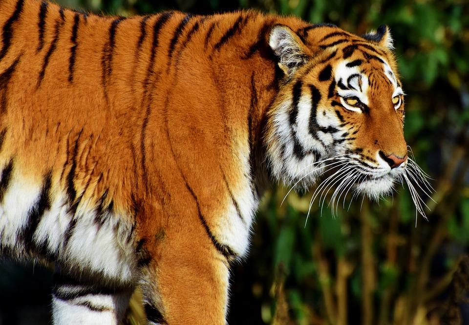 Tiger, Big Cat, Predator, Wildcat, Tiger Head, Tongue