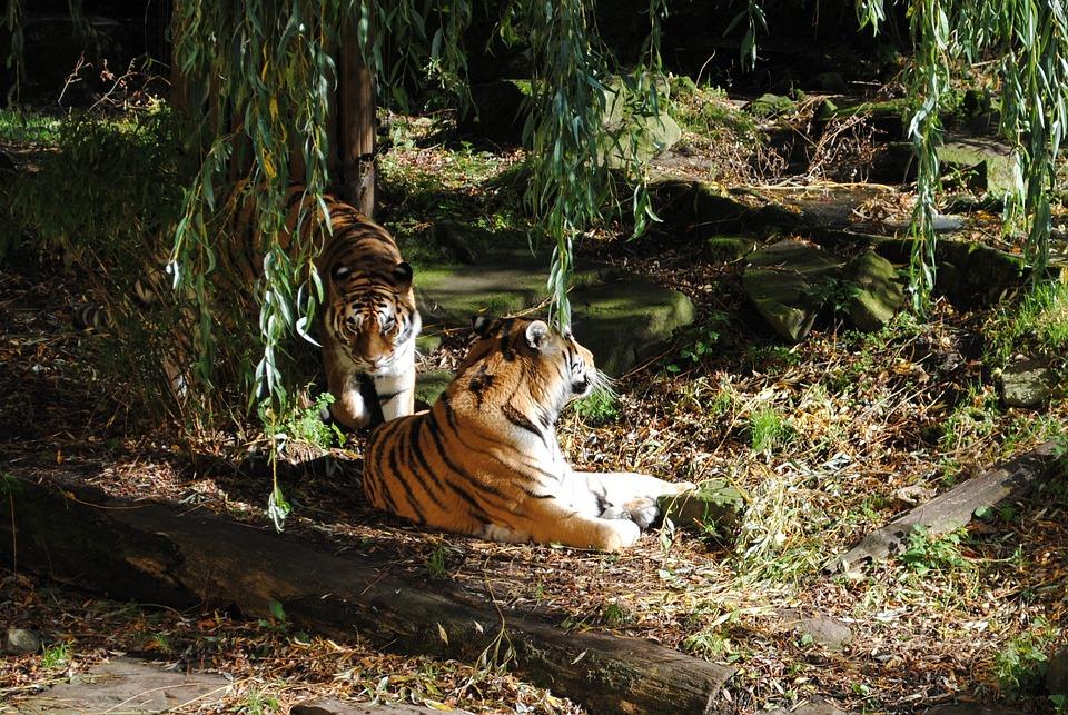 Tiger, Pair, Predator, Big Cat, Animals, Wildlife