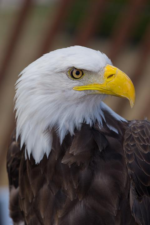 Eagle, Bird, Wild, Symbol, Animal, Icon, Hawk, Predator