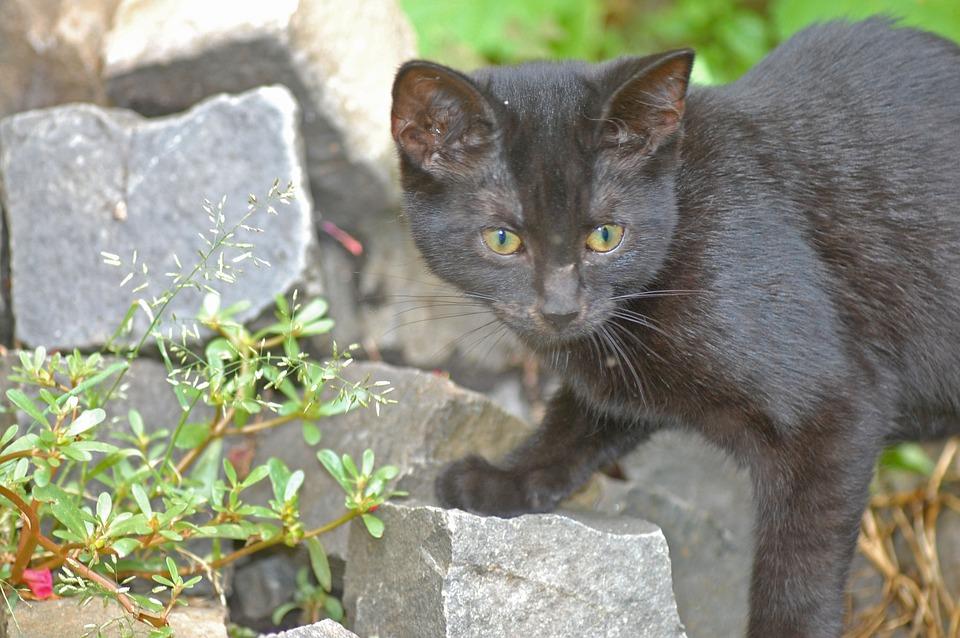 Cat, Black, Black Cat, Young, Careful, Predator