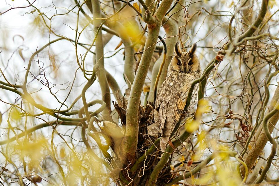 Bird, Long-eared Owl, Predator, Perching, Branches