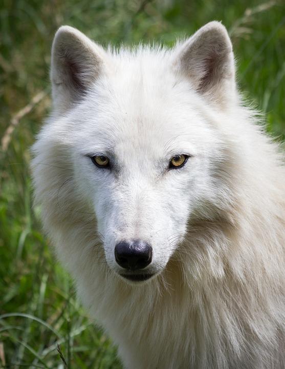 Wolf, Portrait, White, Nature, Predator, Carnivores