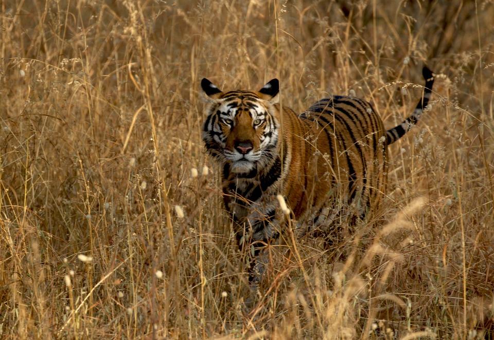 Tiger, Jungle, Wildlife, Cat, Predator, Wild, Carnivore