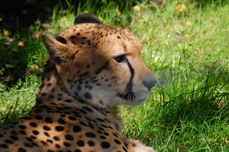 Predator, Cheetah, Cat, Nature, Big Cat, Wild Animal