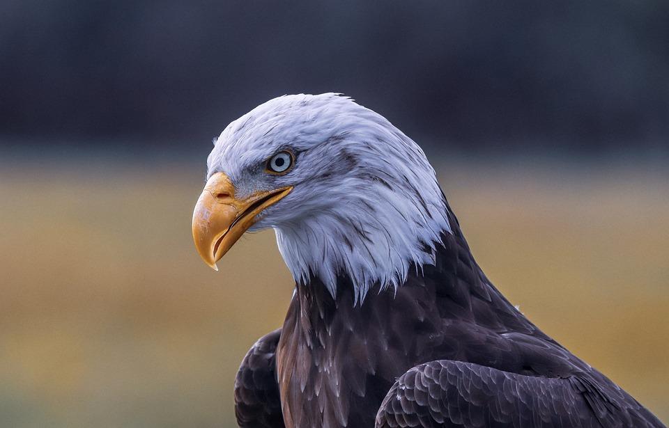 Bald Eagle, Eagle, Bird, Bird Of Prey, Raptor, Predator