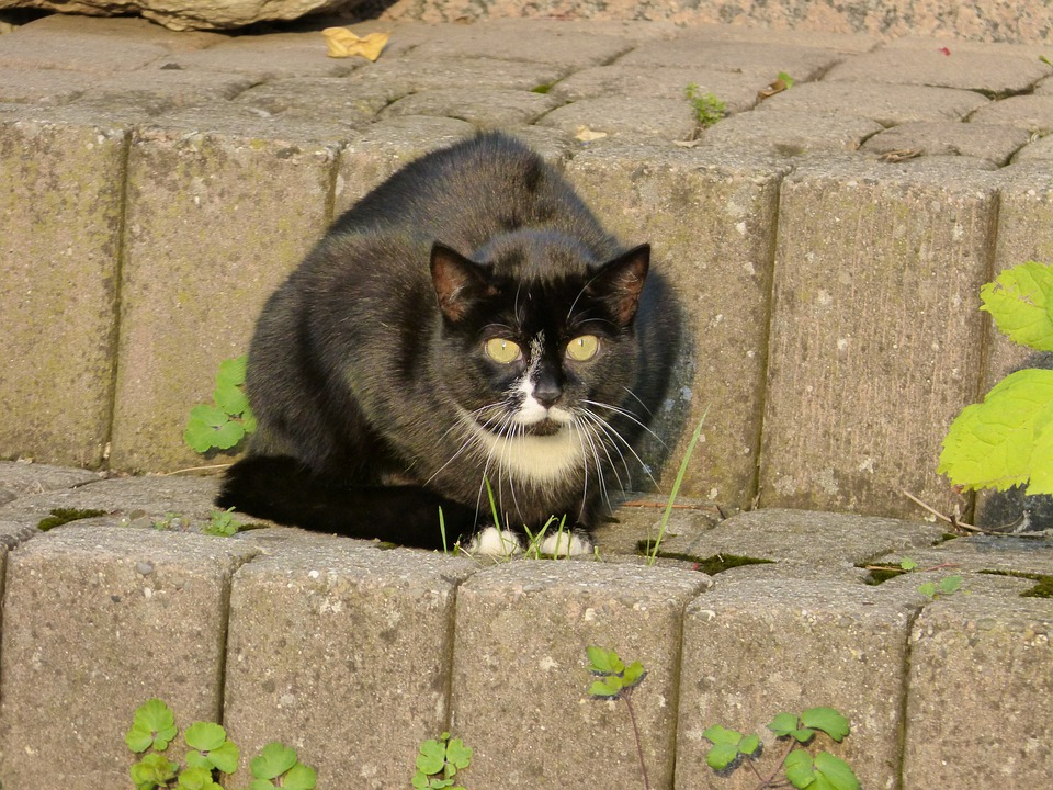 Cat, Felidae, Mammal, Animal, Predator, Eyes, Black