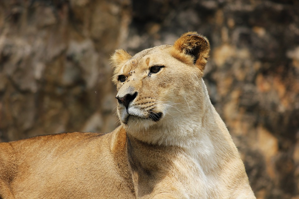 Lion, Predator, Cat, Female, Lioness