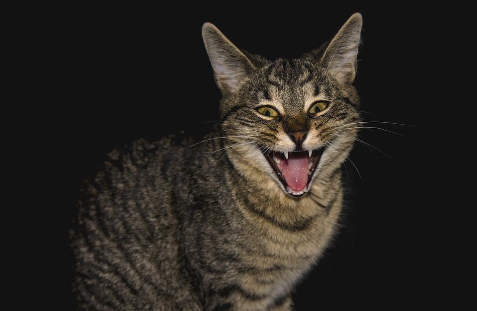 Cat, Animal, Fur, Anger, Predator, Emotions, Figure