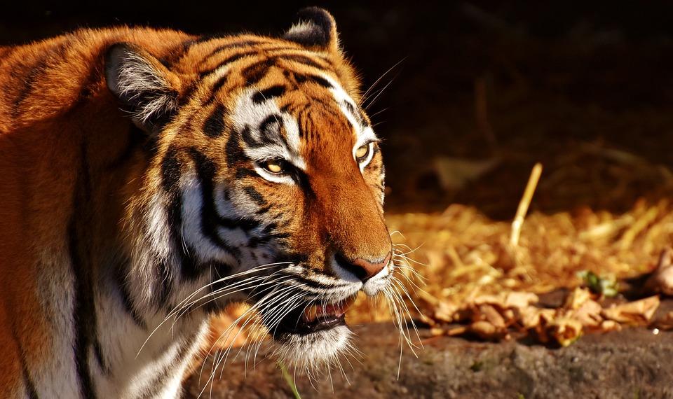 Tiger, Predator, Female, Fur, Beautiful, Dangerous, Cat