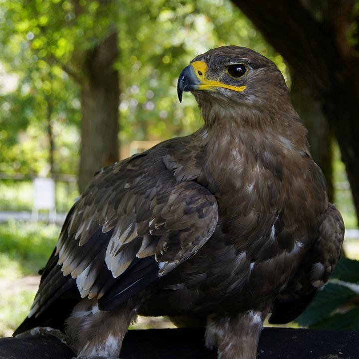 Eagle, Hawk, Golden Eagle, Predator, Bird