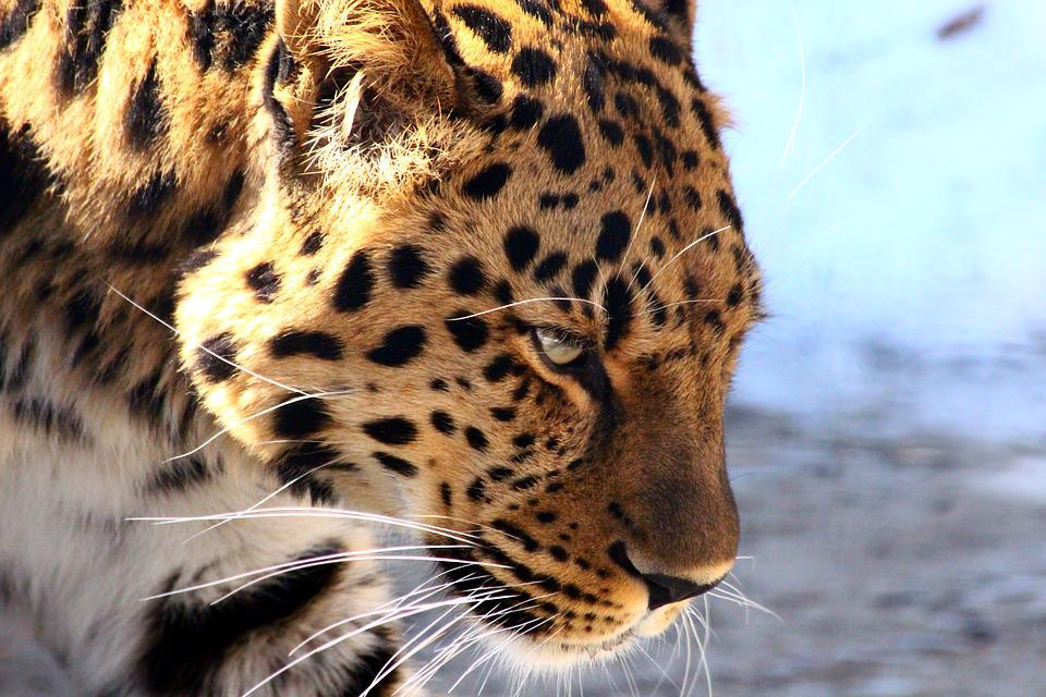 Leopard, The Far Eastern Leopard, Predator, Wild Cat