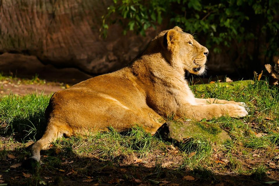 Animal, Predator, Lion, Cat, Watch, Tiergarten Nürnberg