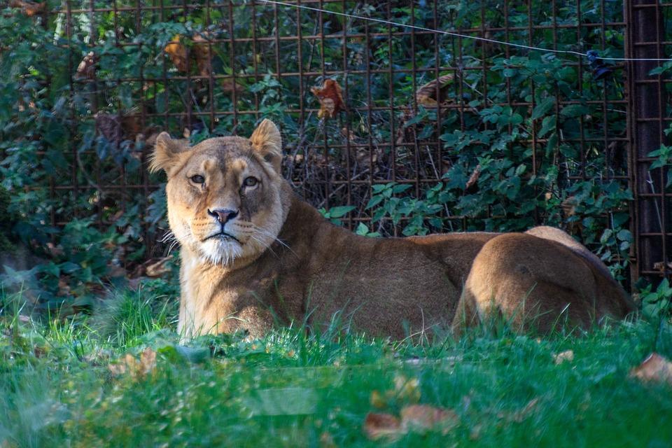 Lion, Lioness, Animal World, Africa, Predator, Big Cat