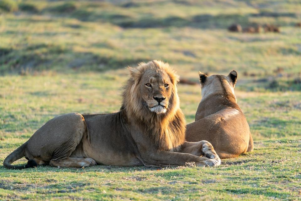 Lion, Lioness, Mane, Carnivores, Couple, Predator