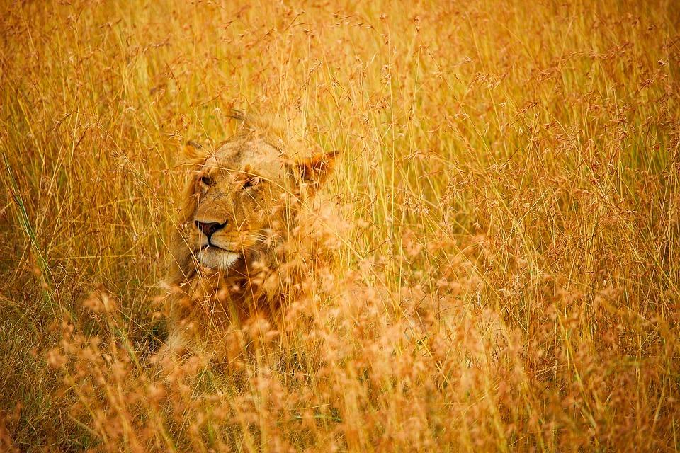 Lion, Male, Wildlife, Animal, Predator, Camouflaged