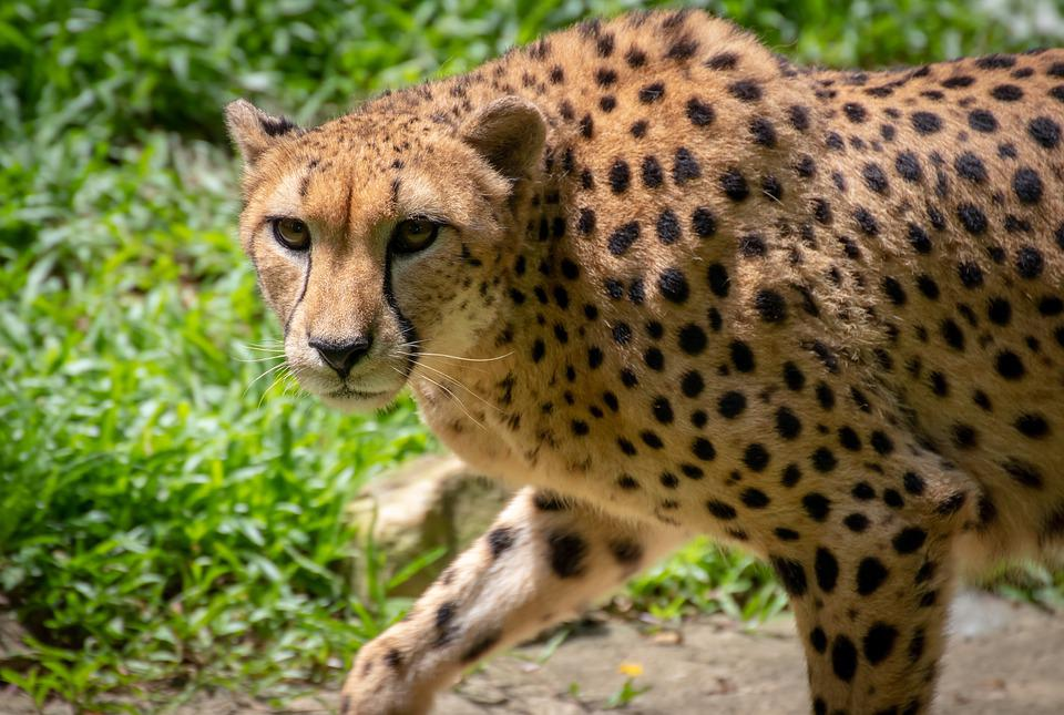 Cheetah, Cat, Animal, Nature, Predator, Africa, Fast