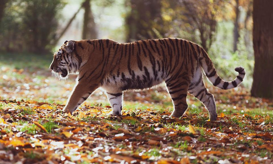 Amur Tiger, Tiger, Predator, Hunter, Nature, Animal
