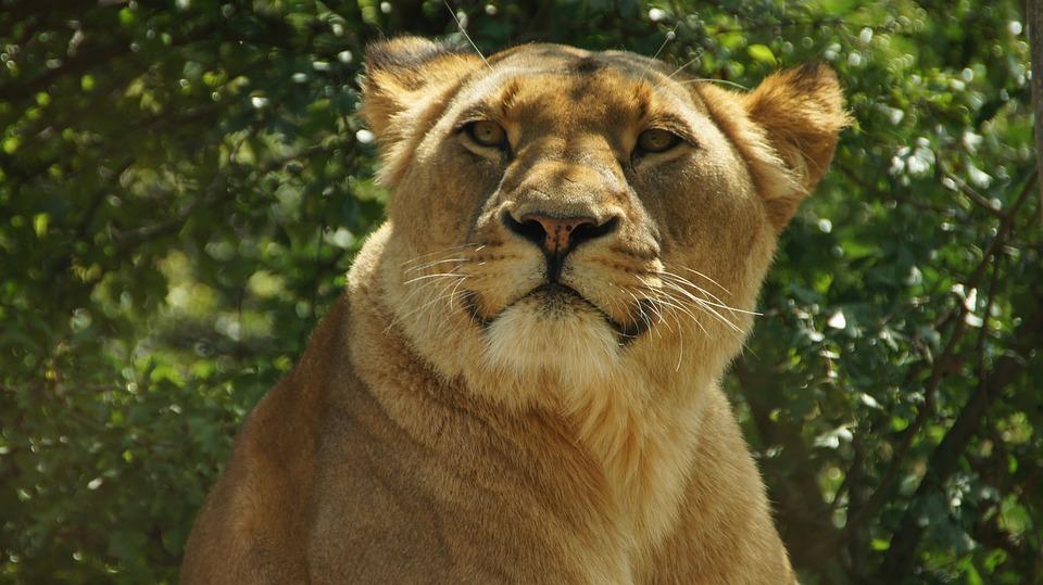Lion, Nature, Big Cat, Animal World, Wild, Predator
