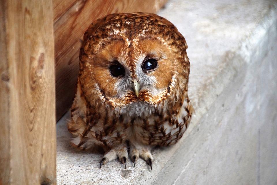 Tawny Owl, Owl, Predator, Night, Bird, Eyes, Cute