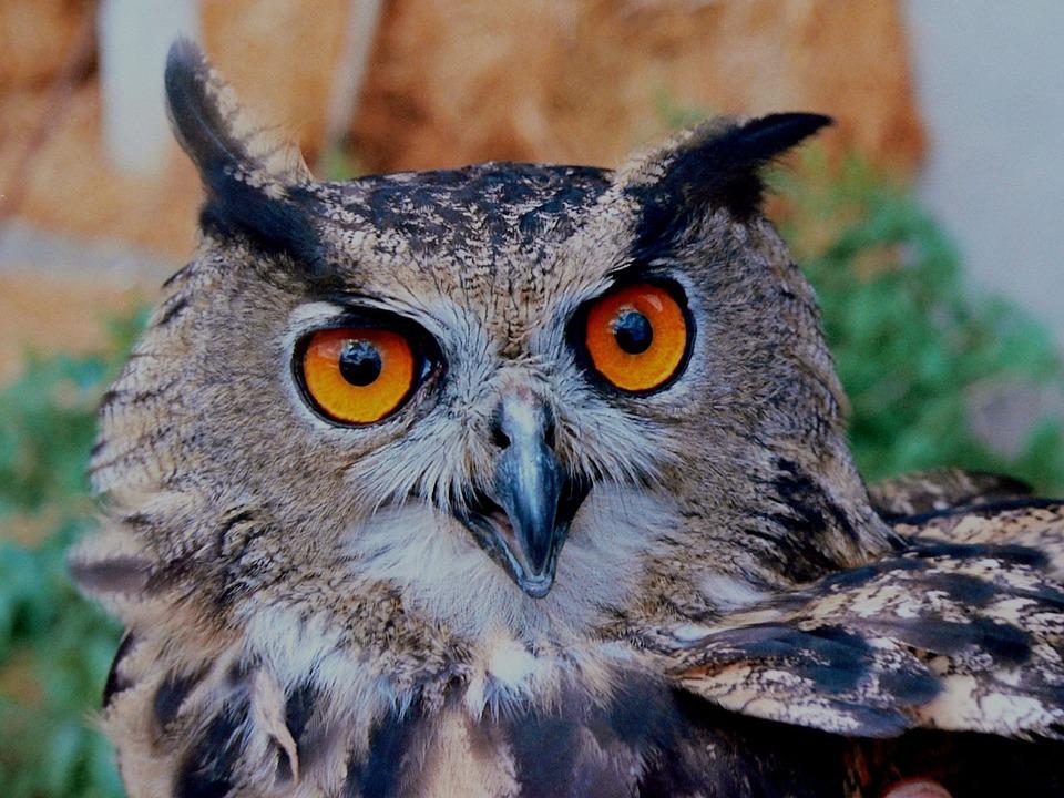 Owl, Horned, Bird, Bird Of Prey, Predator, Nocturnal