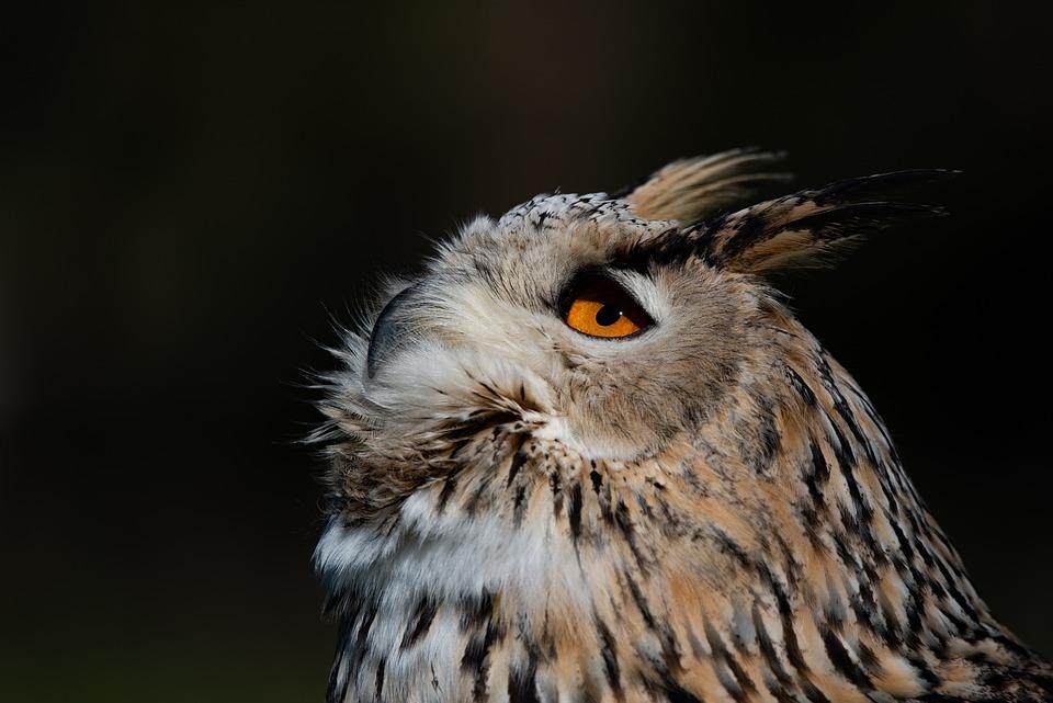 Owl, Siberian Eagle, Animal, Bird, Predator, Raptor