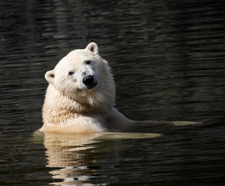 Polar Bear, Mammal, Predator, Animal, Animal World