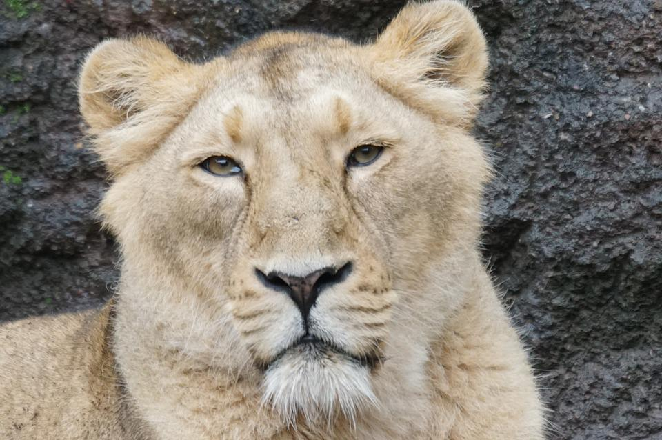 Lioness, Relaxed, Predator, Zoo