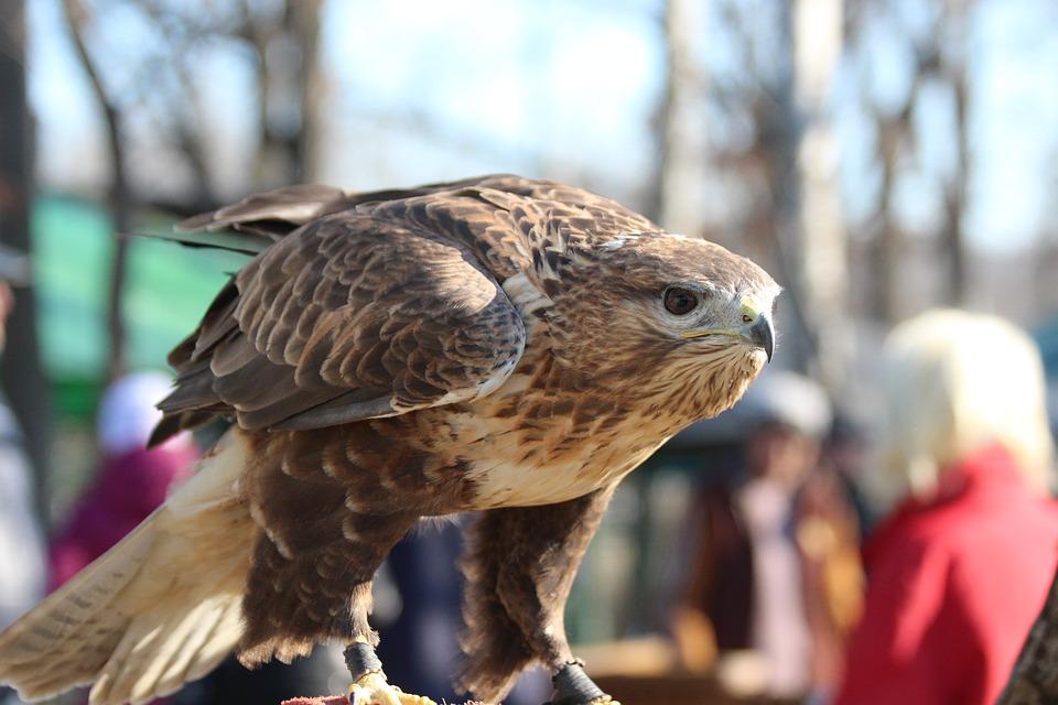 Hawk, Bird, Sarich, Buzzard, Living Nature, Predator