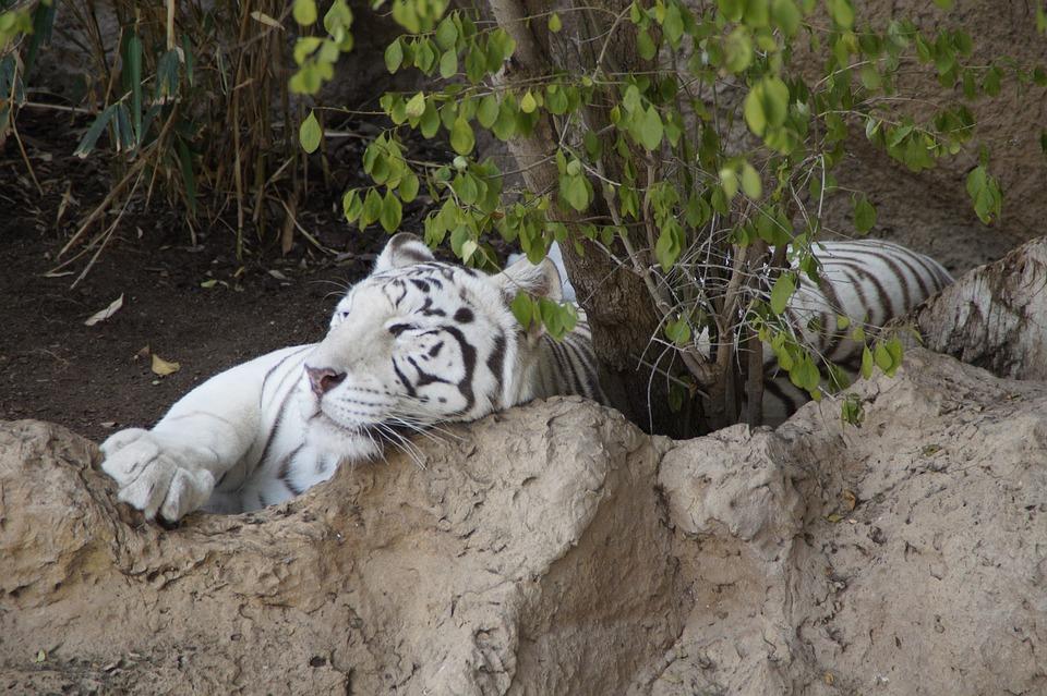 Tiger, White Tiger, Sumatran Tiger, Predator, Big Cat