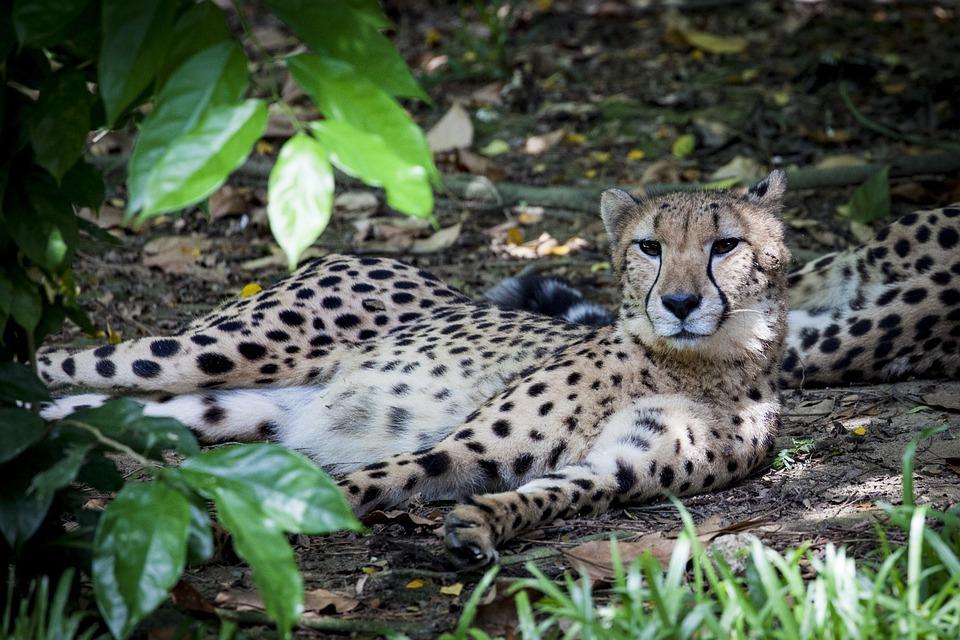 Cheetah, Predator, Wild, Big Cat, Acinonyx
