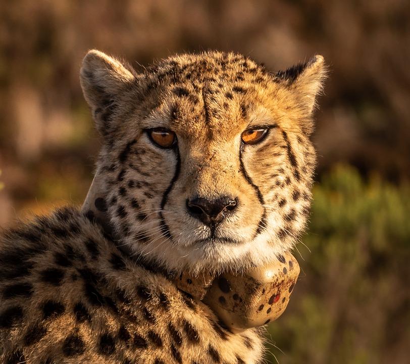 Cheetah, Predator, Big Cat, Africa, Animal World, Wild