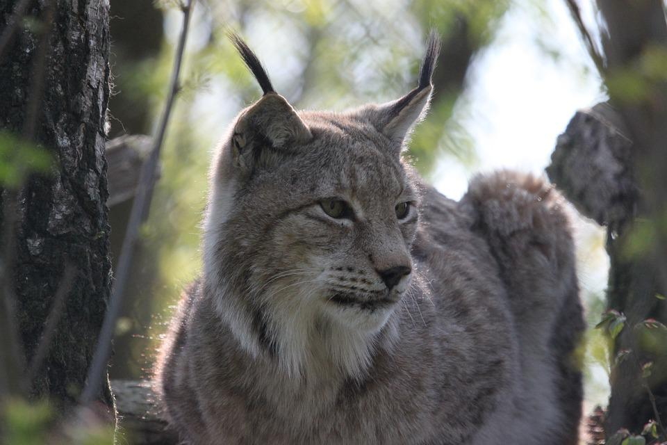 Lynx, Cat, Nature, Animal World, Predator, Wild