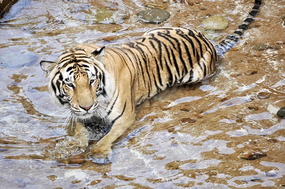 Tigers, Wildcats, Animals, Predator, Zoo, Mammal