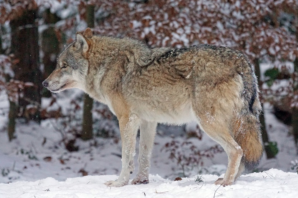 The Grey Wolf Canis Lupus by PictureByPali on DeviantArt