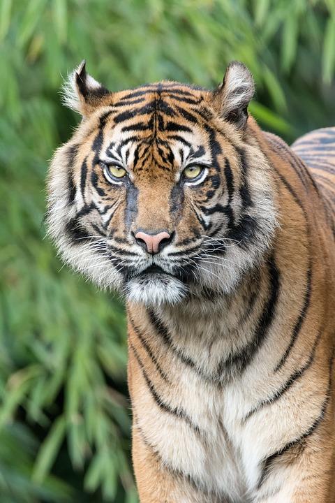 Tiger, Telephoto Lens, Predator, Zoo