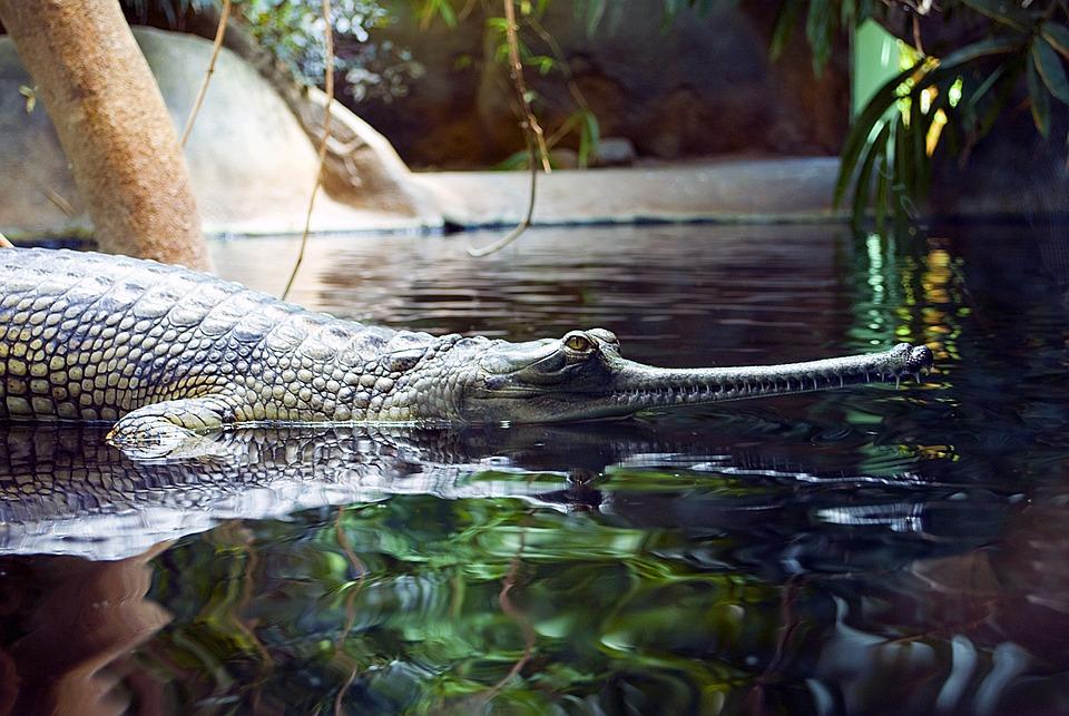 Gaviál, Crocodile, Zoo, Water, Lizard, Predator